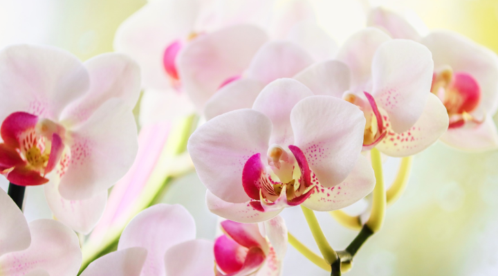 pink speckled white orchids