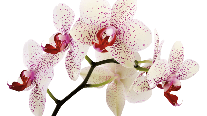 purple speckled white orchid